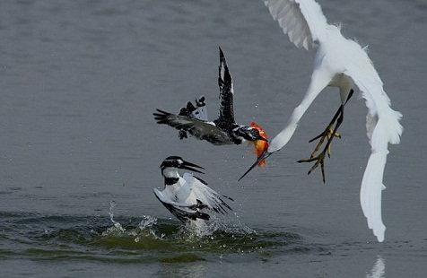 lucha por un pez Lucha por un pez
