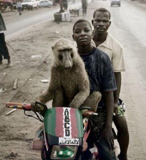 En África conducen hasta los monos
