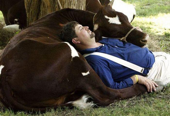 dormir vaca Dormir con una vaca