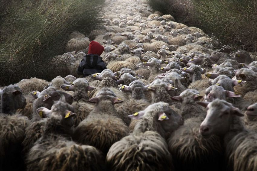 Vídeos y fotos de risa. - Página 3 Perderse-entre-un-rebano-de-ovejas