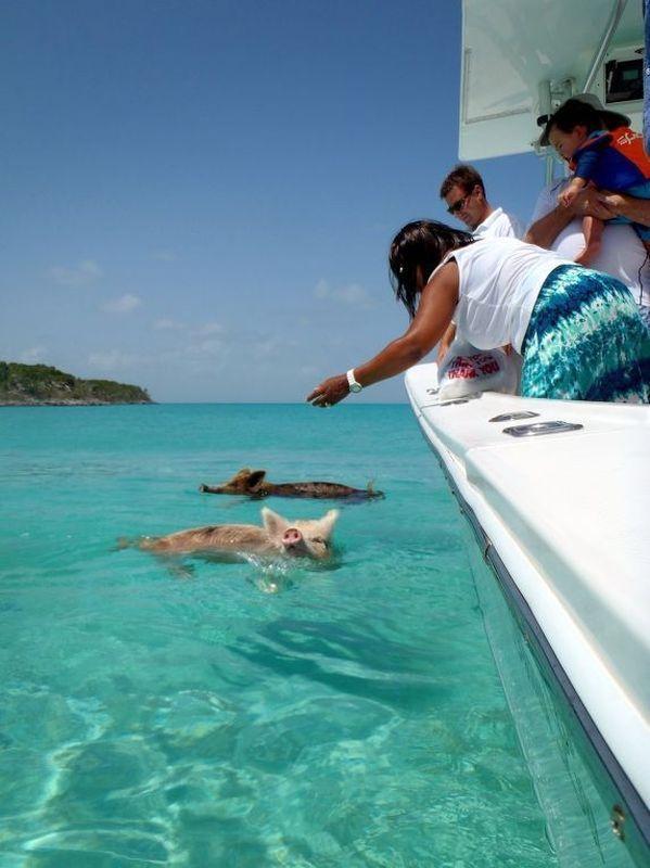 cerdos en la playa