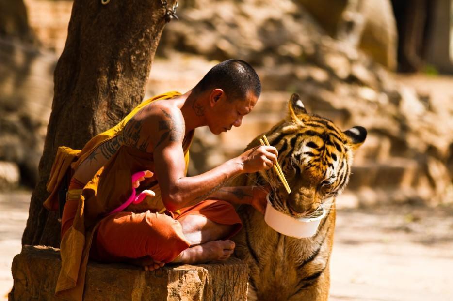 compartir la comida con un tigre