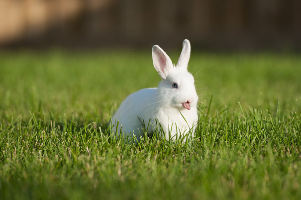 conejos sacando la lengua 10