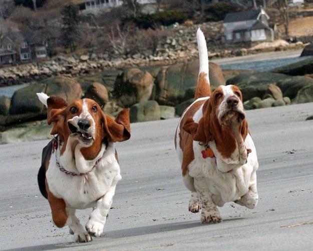 perros con papada