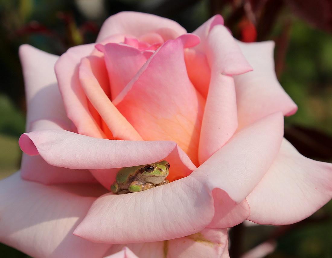 rana en una flor