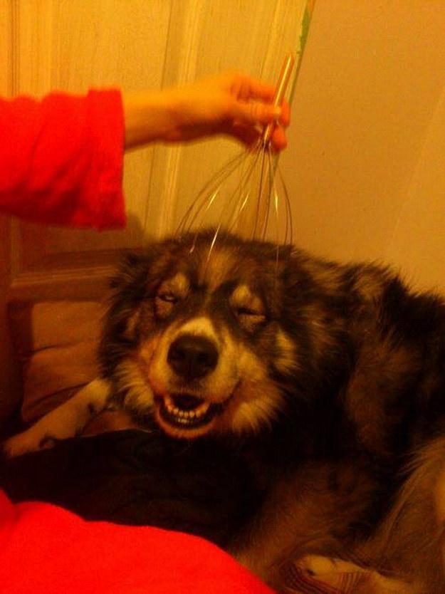 a los perros tambien les gusta el chisme para masajear cabezas