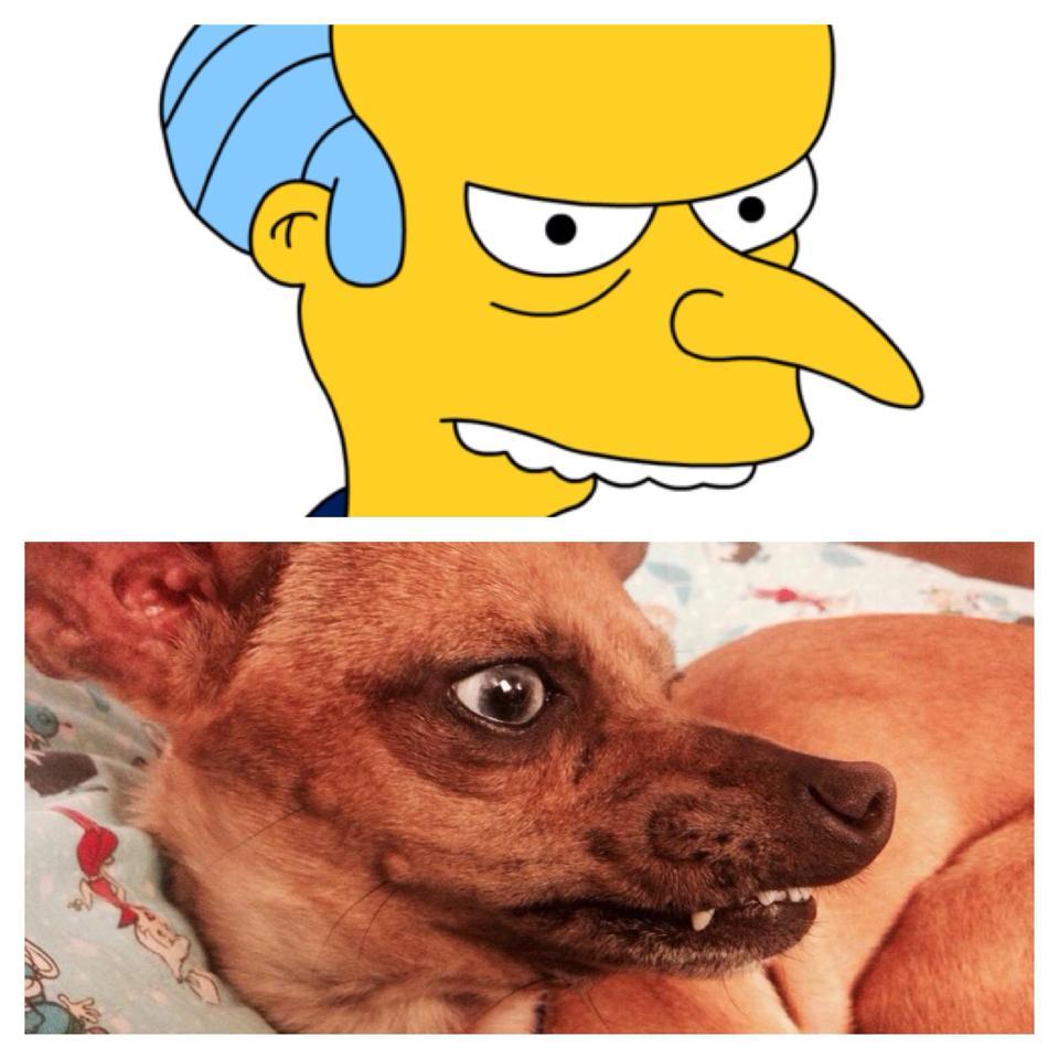 perro parecido al sr Burns