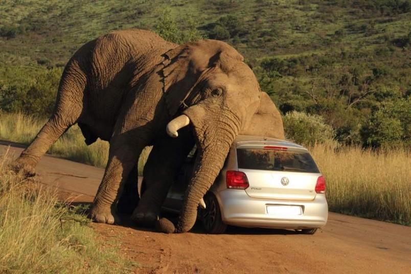 Volkswagen Polo y un elefante