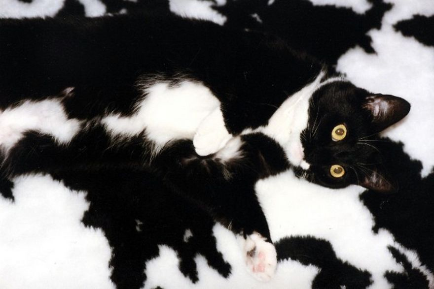 mascotas camufladas 5