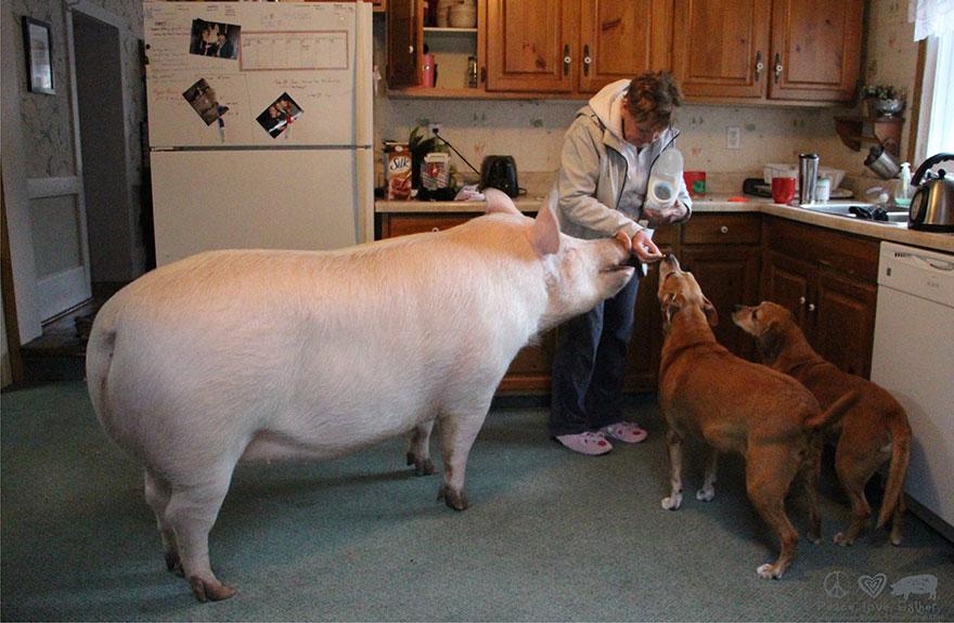 de cerdito a cerdo 7