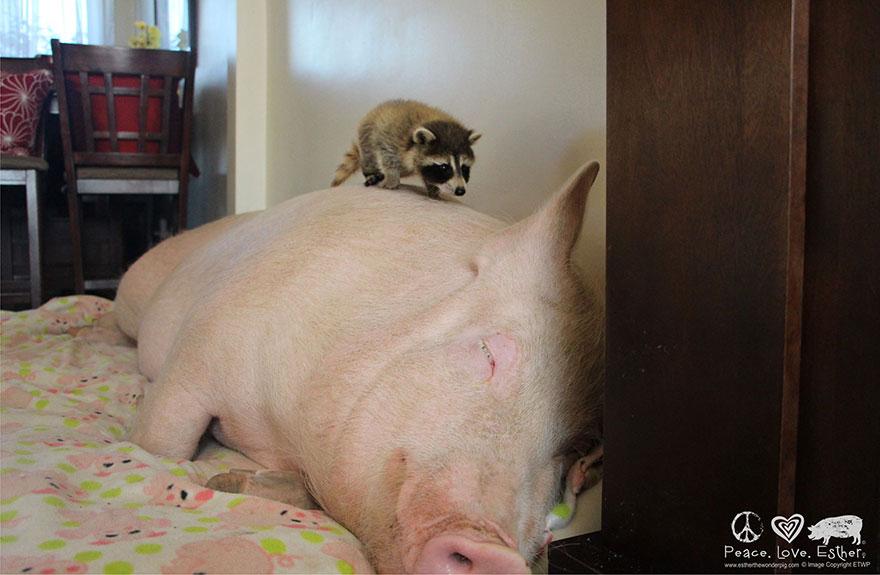 de cerdito a cerdo 8