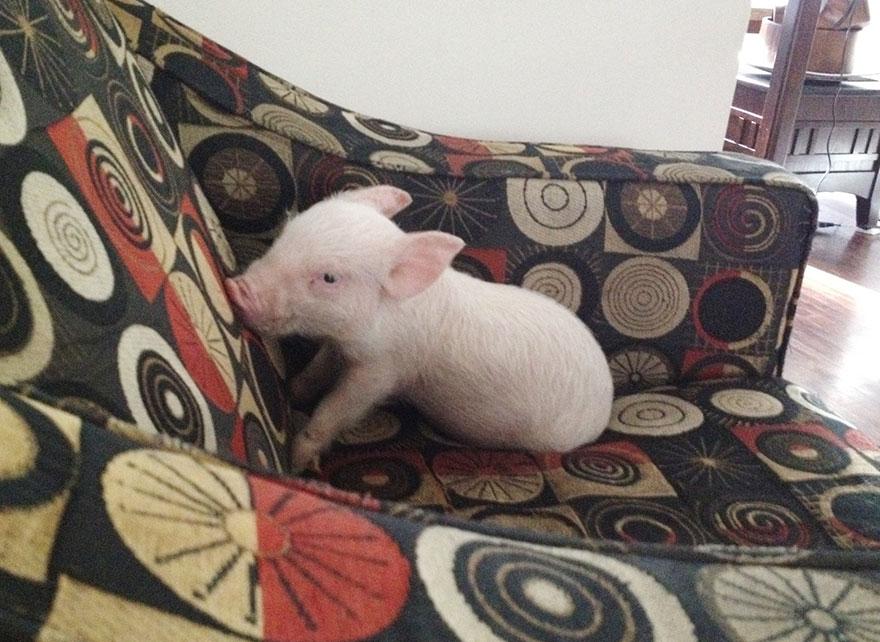 de cerdito a cerdo