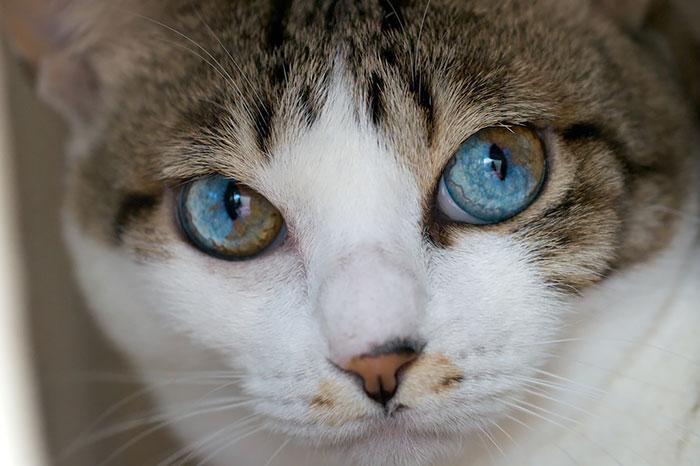 animales ojos distinto color 10