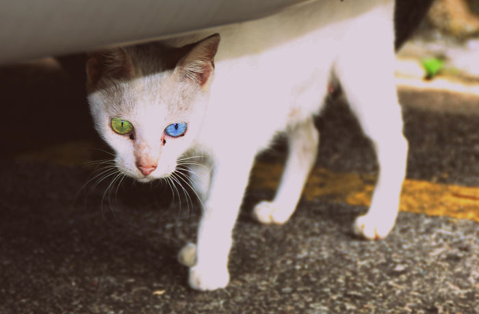animales ojos distinto color 14