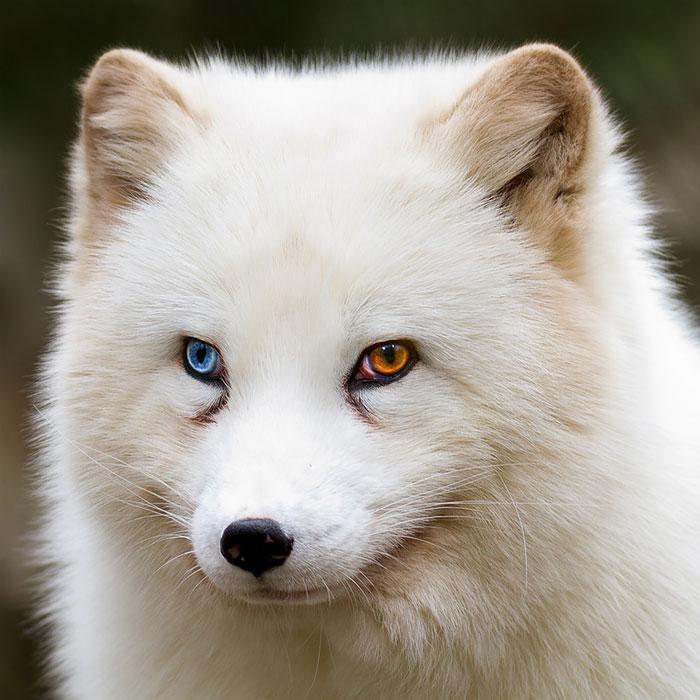 animales ojos distinto color 3
