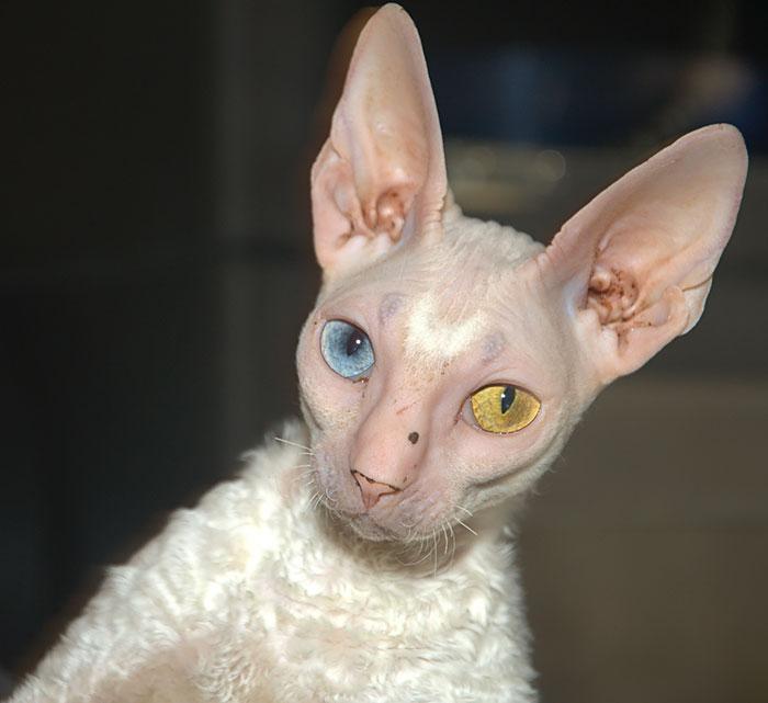 animales ojos distinto color 7