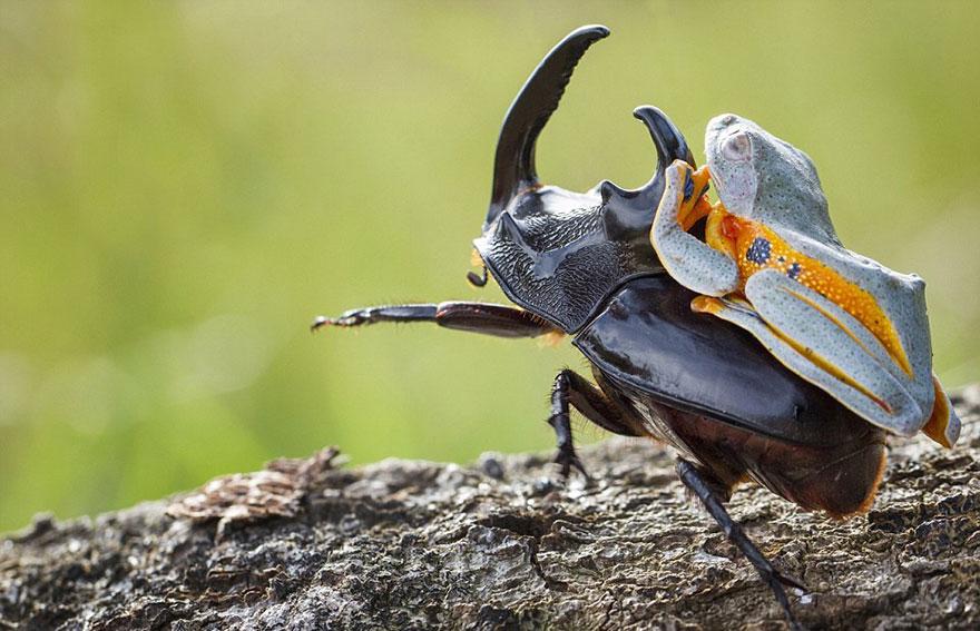 rana escarabajo 2