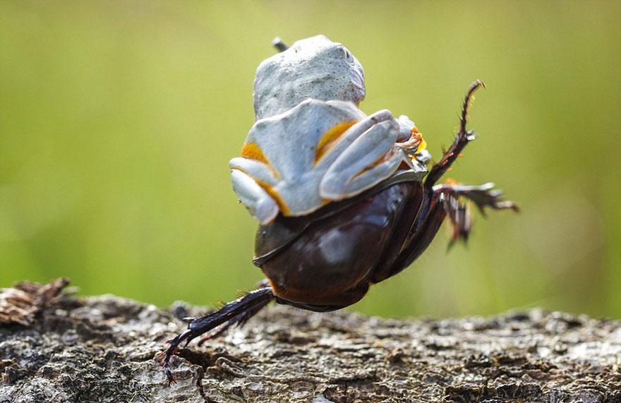 rana escarabajo 3