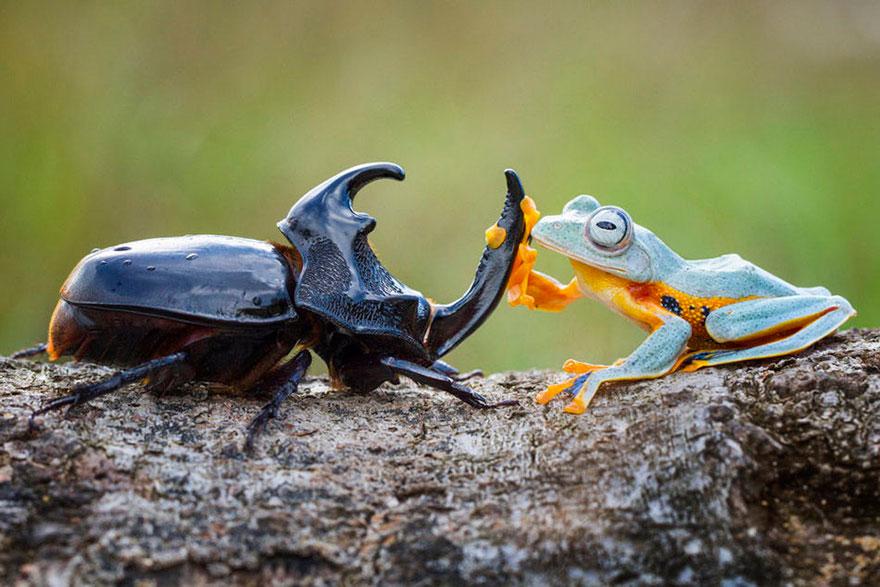 rana escarabajo 4