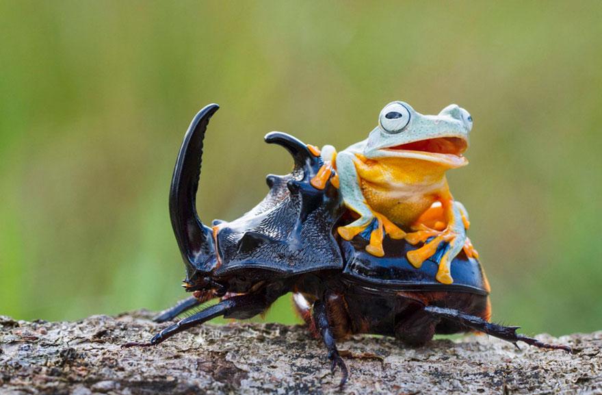 rana escarabajo 5