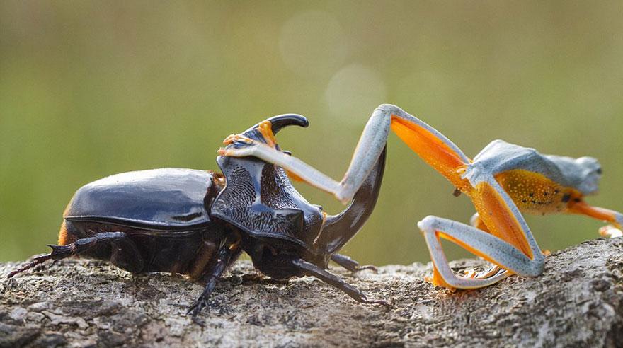 rana escarabajo 6