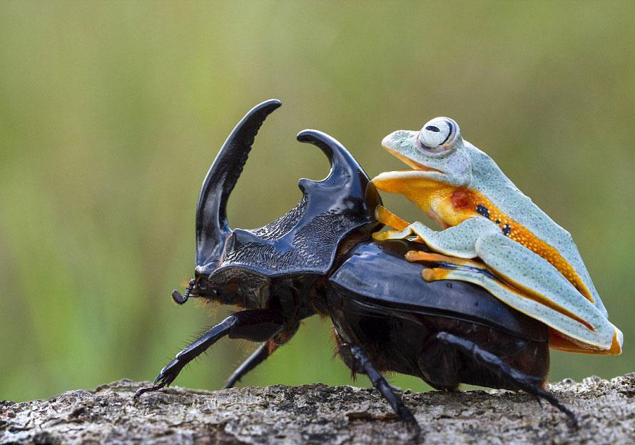 rana escarabajo 7