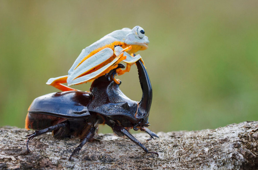 rana escarabajo 8