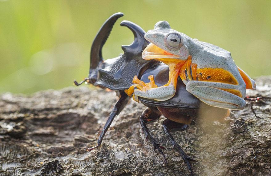 rana escarabajo 9