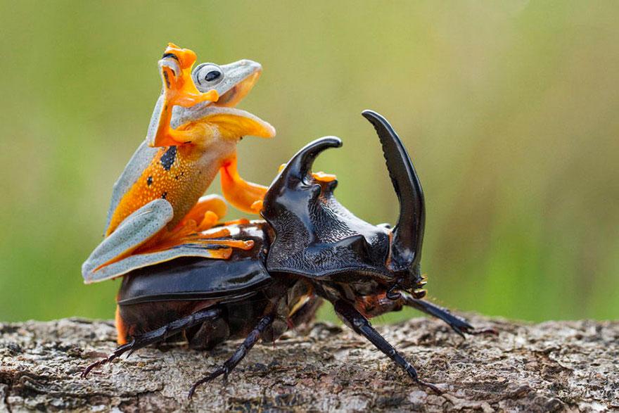 rana escarabajo