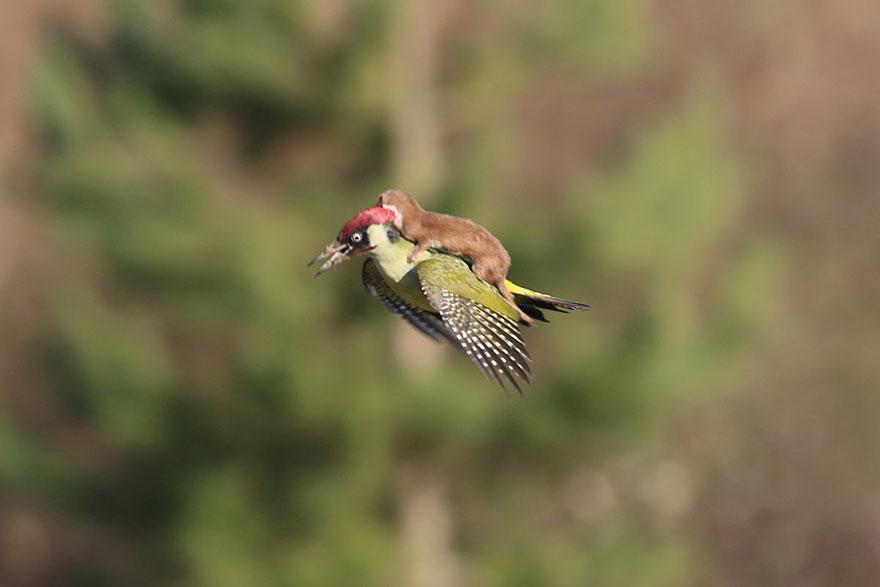 comadreja volando