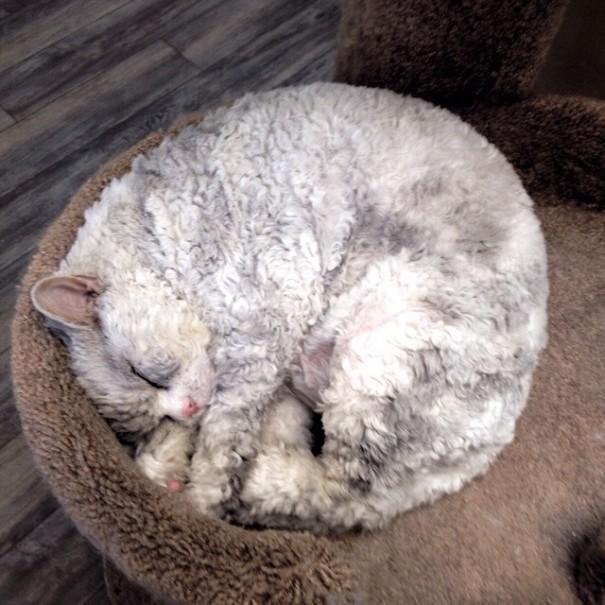 gato oveja 9
