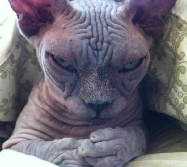 gatos con planes maquiavelicos 3