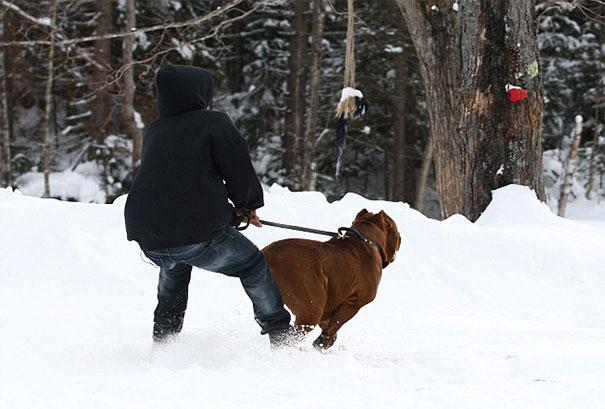 pitbull 80 kilos 11