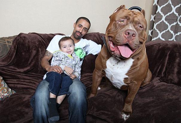 pitbull 80 kilos 13