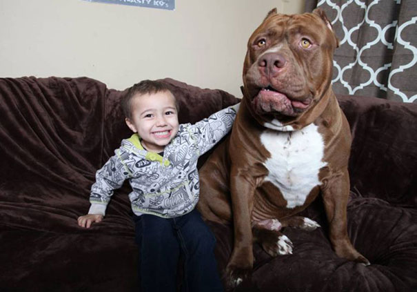 pitbull 80 kilos 2