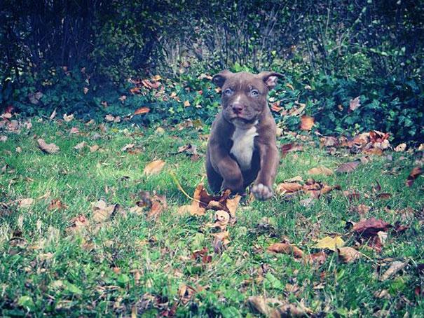 pitbull 80 kilos 3