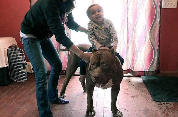 pitbull 80 kilos 5