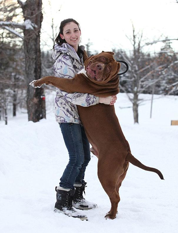 pitbull 80 kilos 7