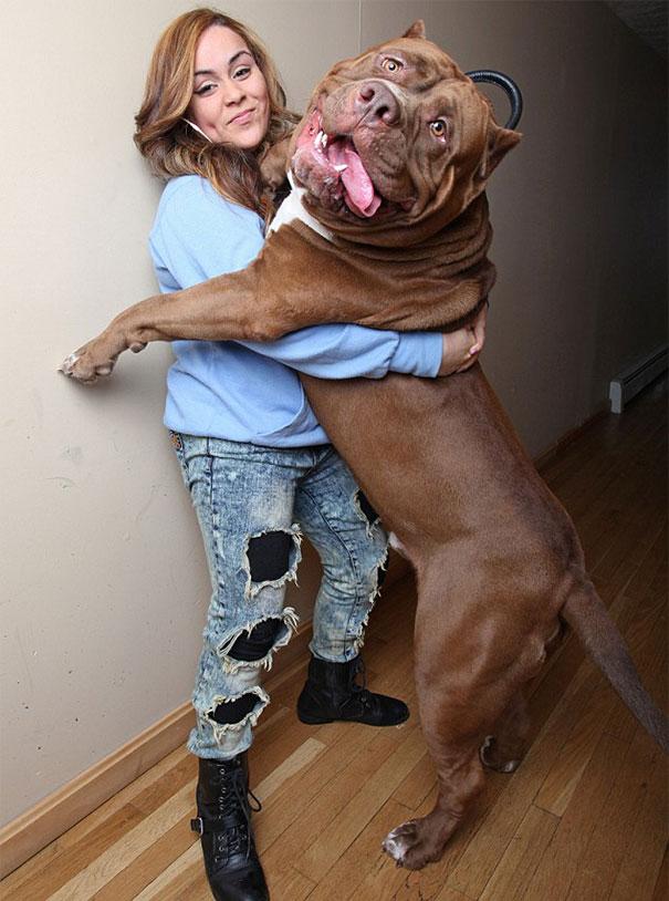 pitbull 80 kilos