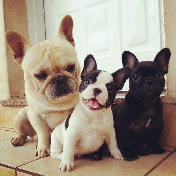 De Cachorros Fotos De De Bulldog Fotos Fotos Bulldog Cachorros Bulldog Cachorros Fotos yY7b6gf