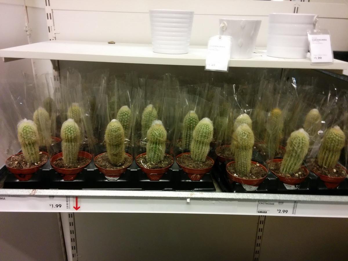 cactus empalmados