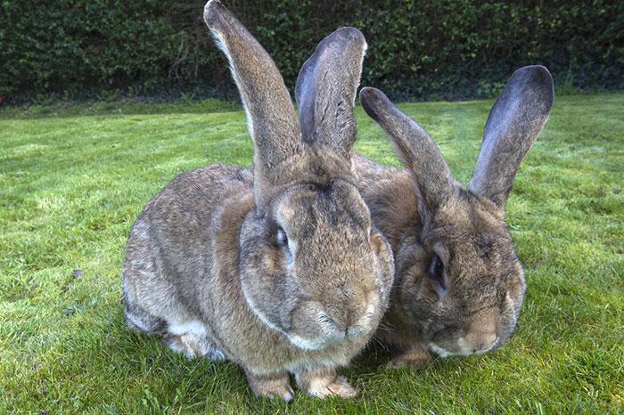 conejo enorme 3