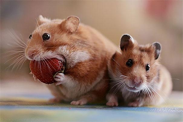 animales comiendo frutos rojos 11
