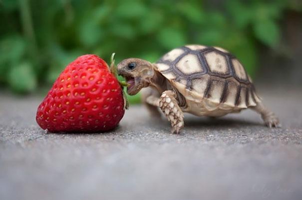 animales comiendo frutos rojos 7