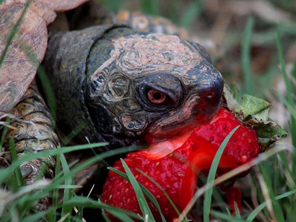 animales comiendo frutos rojos 8