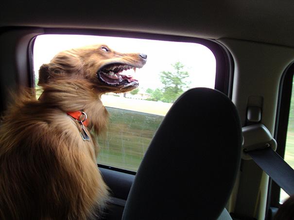 perros viajando en coche 11