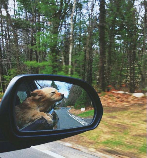 perros viajando en coche 15