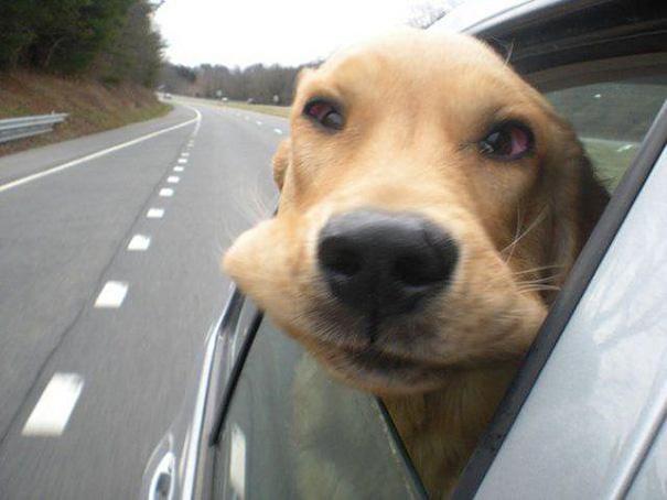 perros viajando en coche 17