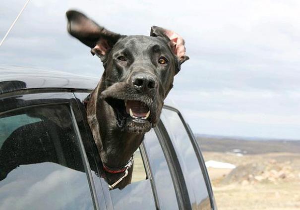 perros viajando en coche 18