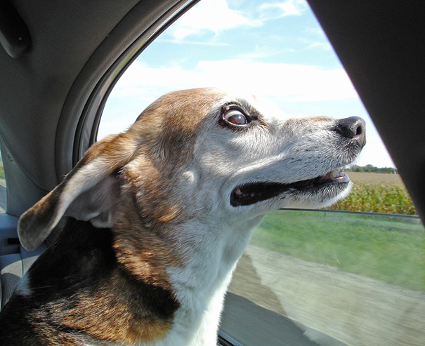 perros viajando en coche 7